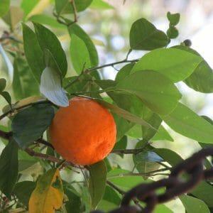 de laranja amarga