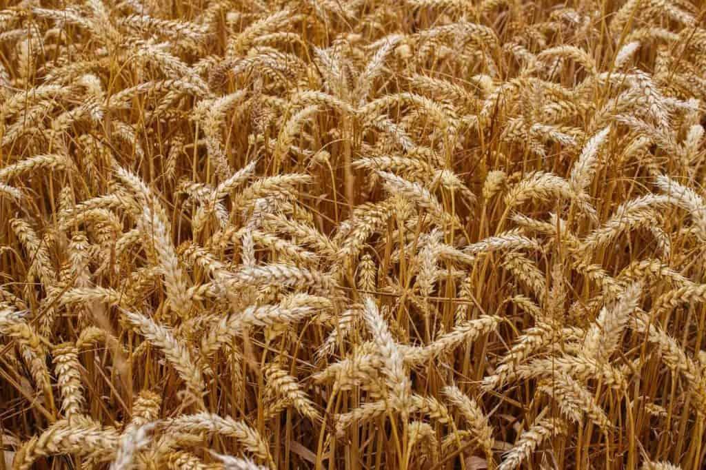 o crescimento do grão no campo