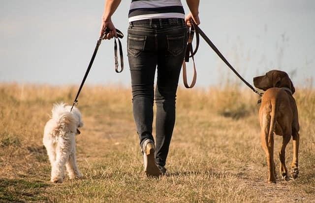 a mulher caminha com cães